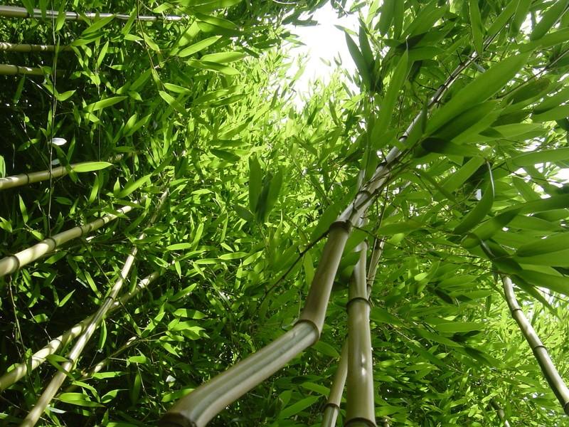 Bambus Teich Teichpflanzen Teichbau