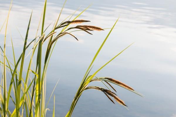 Schlanke Segge | Carex acuta