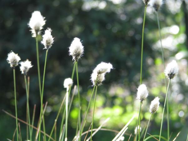 Scheiden-Wollgras | Eriophorum vaginatum