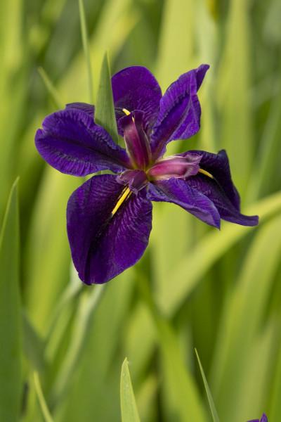 Louisiana Iris 'Black Gamecock'