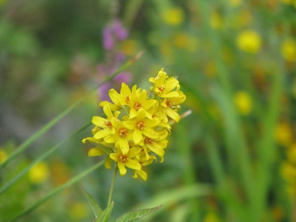 Gemeiner Gibweiderich | Lysimachia vulgaris