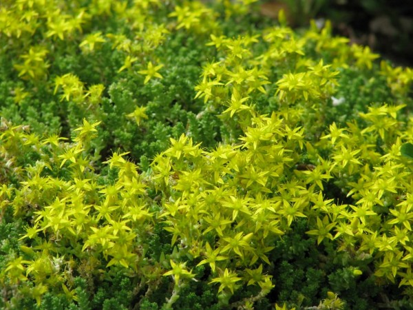 Sedum acre Minor | Scharfer Mauerpfeffer Minor