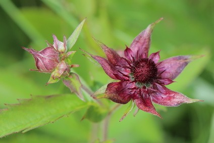 Sumpf-Blutauge | Potentilla palustris