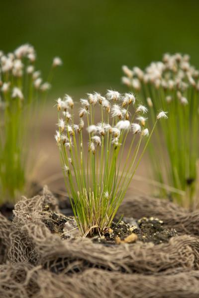 Alpen-Rasenbinse | Trichophorum alpinum