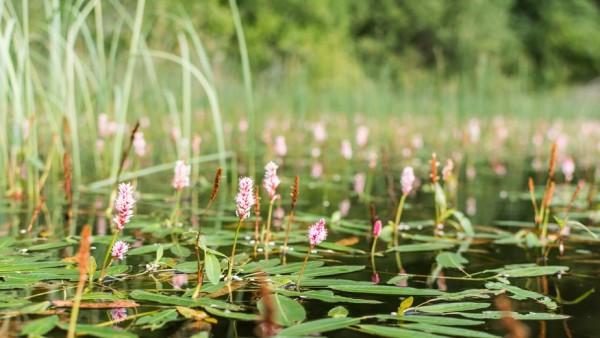 Wasserknöterich | Persicaria amphibia
