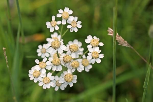 Sumpf-Schafgarbe | Achillea ptarmica