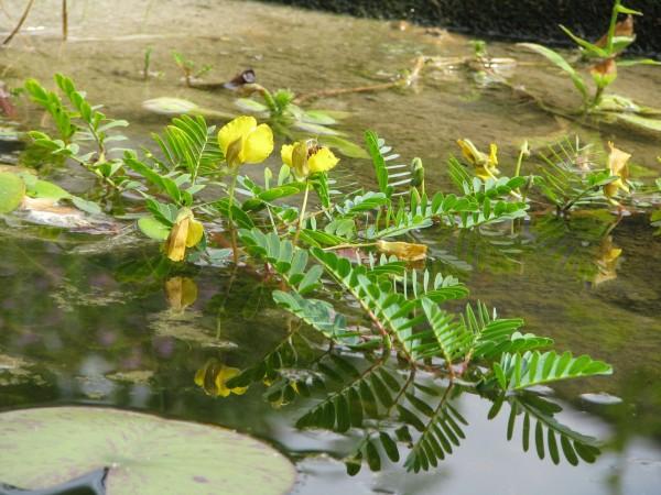 Wassermimose | Aeschynomene fluitans