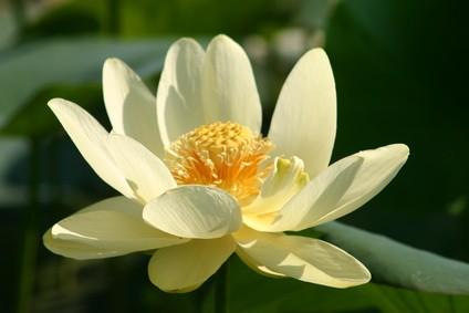 Amerikanische Lotusblume | Nelumbo lutea