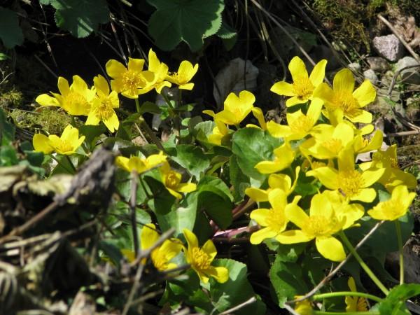 Sumpfdotterblume | Caltha palustris