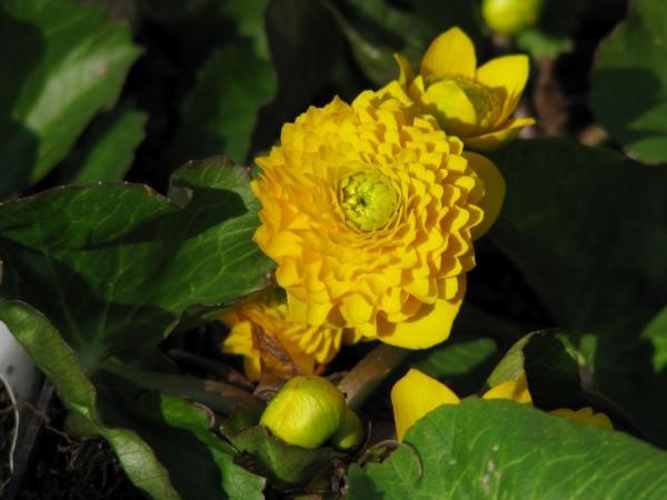 Gefüllte Sumpfdotterblume | Caltha palustris Multiplex