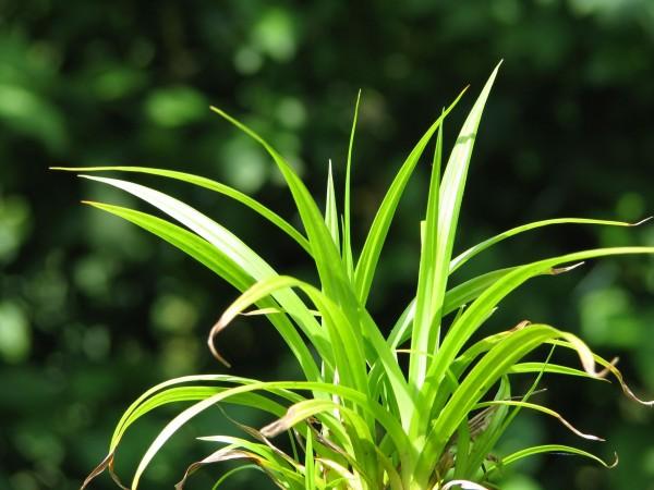 Hängende Segge | Carex pendula