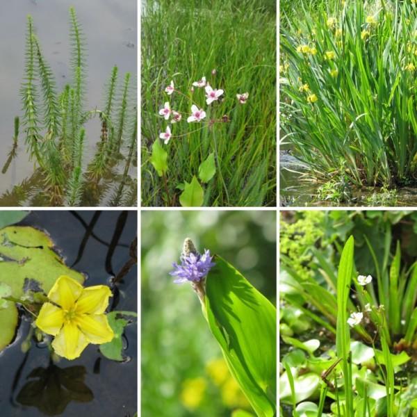 Pflanzensortiment Flachwasser