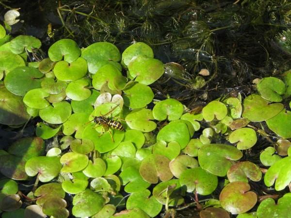 Froschbiss   Hydrocharis morsus-ranae