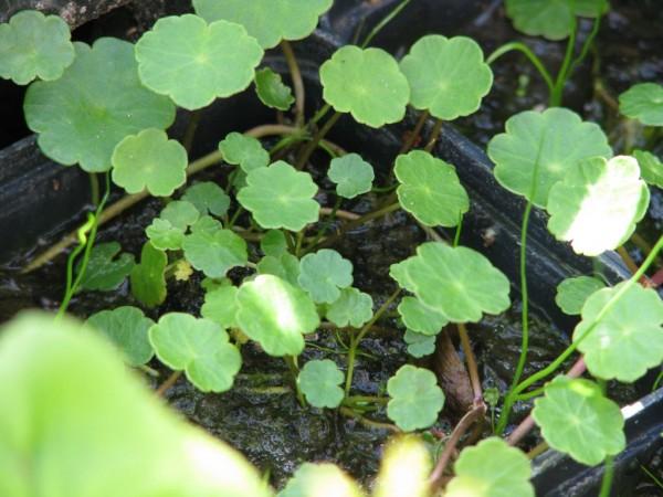 Wassernabel Hydrocotyle vulgaris