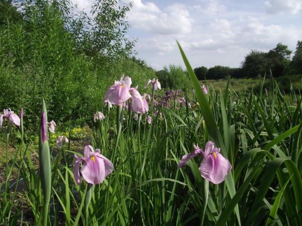 Japanische Sumpfschwertlilie | Iris ensa