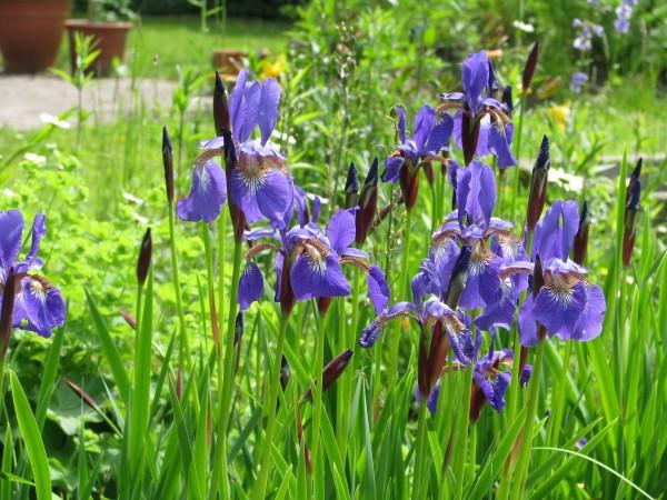 Wiesen-Schwertlilie | Iris sibirica