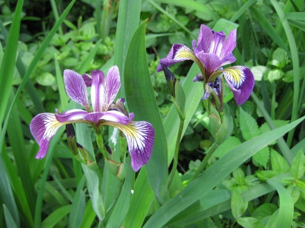 Amerikanische Sumpfschwertlilie | Iris versicolor
