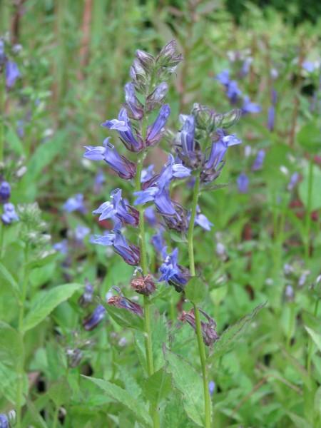 Blaue Lobelie | Lobelia sessilifolia