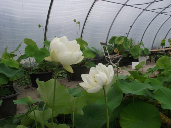 Lotusblume Alba Grandiflora