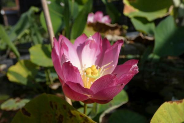 Lotusblume Yonsil