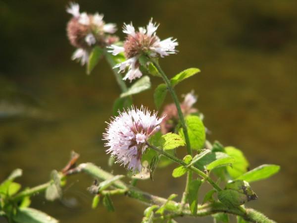 Wasserminze | Mentha aquatica