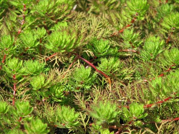 Brasilianische Tausendblatt   Myriophyllum aquaticum