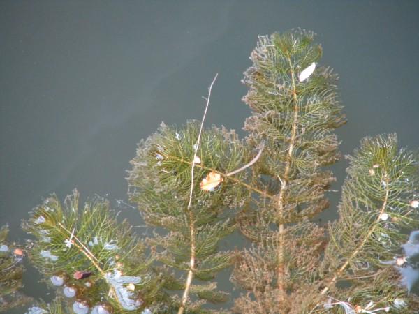 Quirliges Tausendblatt | Myriophyllum verticillatum