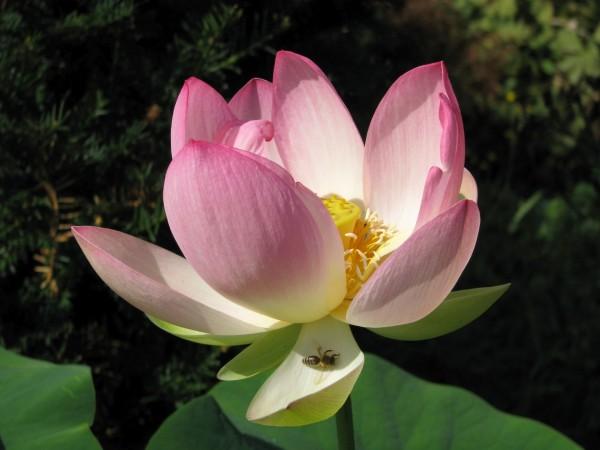 Asiatische Lotusblume | Nelumbo nucifera