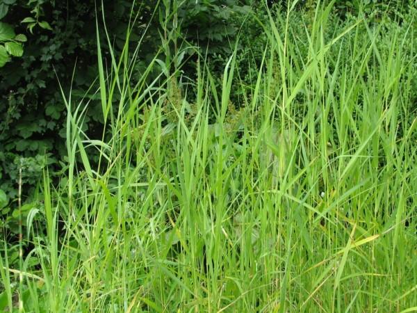 Zwergschilf | Phragmites australis ssp. humilis