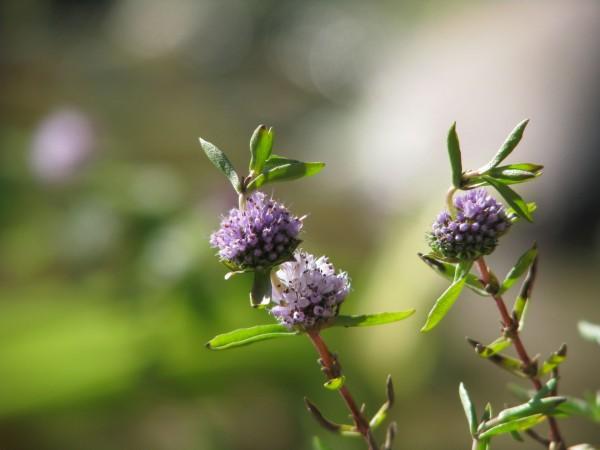 Englische Wasserminze | Preslia cervina