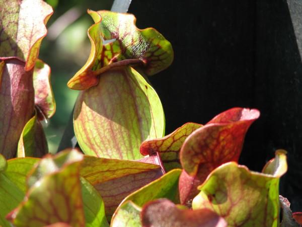 Rote Schlauchpflanze | Sarracenia purpurea