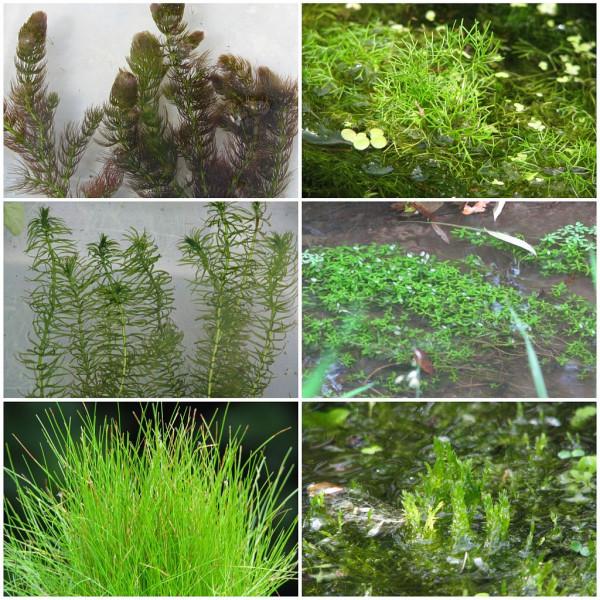 Sauerstoffpflanzen für Teiche