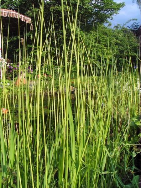Teichsimse Weißbestreift | Scirpus lacustris Albescens