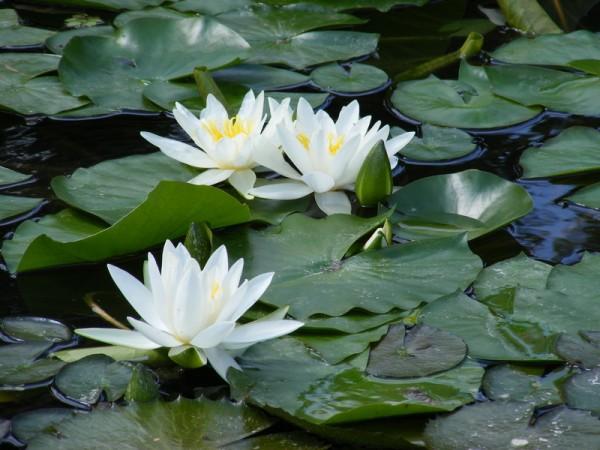 Seerose Nymphaea Hever White
