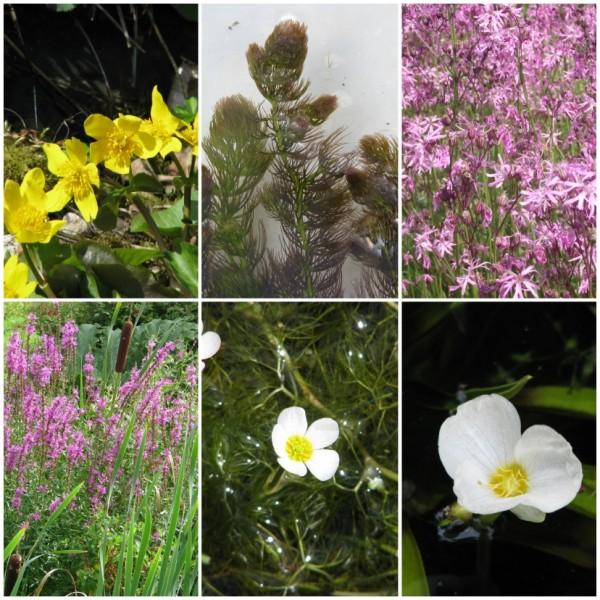 Sortiment einheimische Teichpflanzen