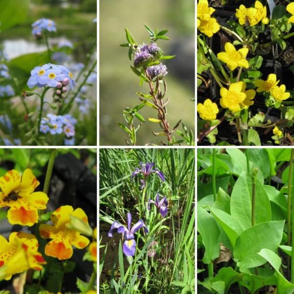 Sumpfpflanzen Sortiment